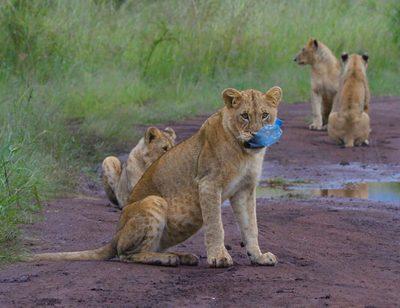 Lion, Mammal, Animal