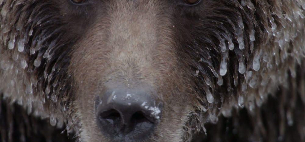 Auge in Auge mit Grizzlys