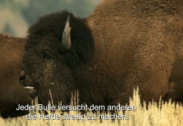 Kampf der Bison-Bullen