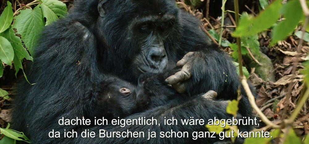 Gorillababys & Silberrücken