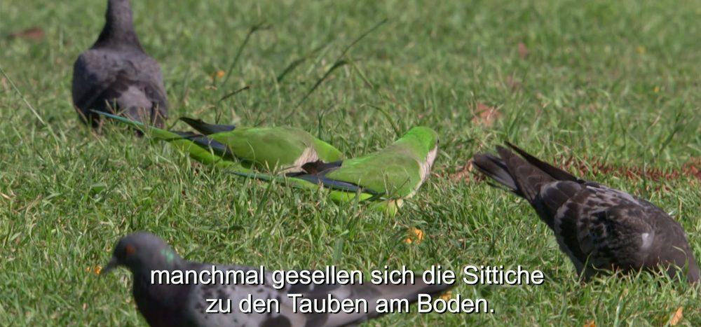 Papageien in der Großstadt
