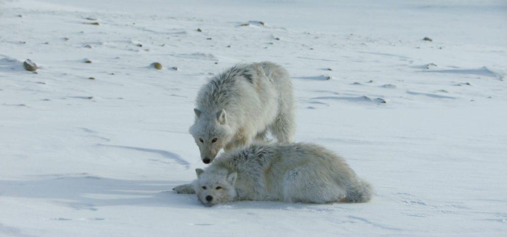Im Bann der Polarwölfe