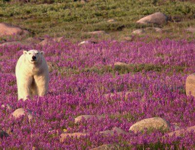 Wird dem Eisbären zu warm?