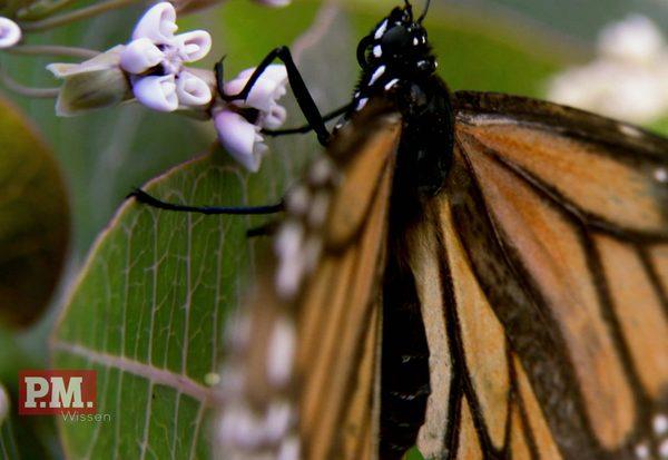Drama der Schmetterlinge