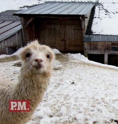 Alpaka statt Schaf?