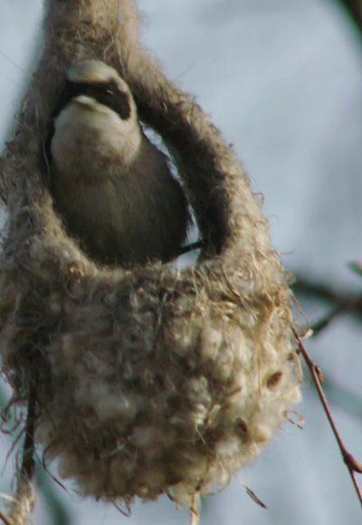 Wie bauen Vögel Nester?