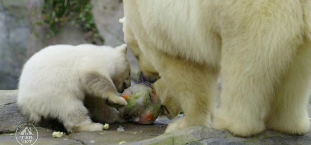 Eisbärenbaby Finja