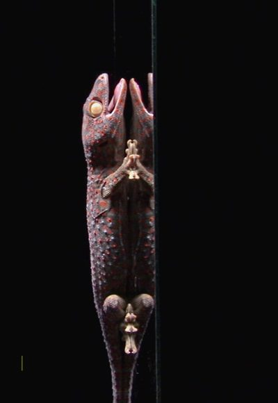 Wie haften Geckos?