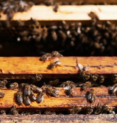 Tipp: Bienenfutterpflanzen