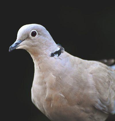 Warum nicken Tauben?
